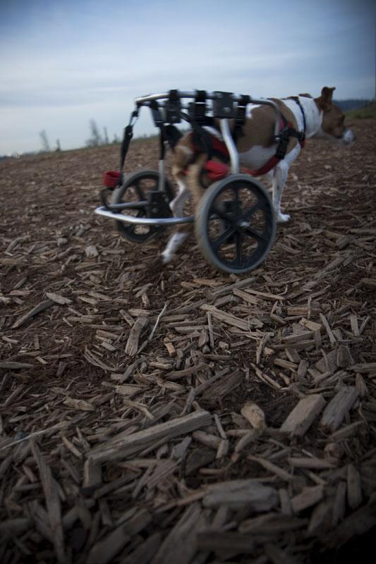 Dog-Cart_7342