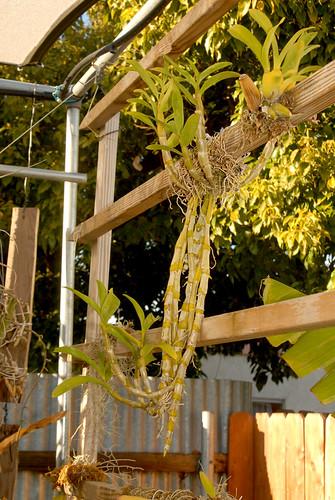 Dendrobium nobile 462 09-02-10 042