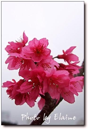 2009 櫻花