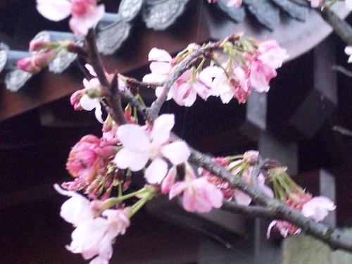 你拍攝的 2009.2.21 山門旁的櫻花。