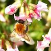 she loves pink........ (atsjebosma) Tags: pink flowers macro nature rose garden searchthebest bokeh natuur bee explore tuesday bij indetuin april2009 shelovespink overtheexcellence hppt happyprettypinktuesday zehoudtvanrose