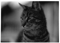 Ziggy Whammo Stardust (Emily Savill) Tags: cute film cat kitten pussy kitty ziggy stardust whammo