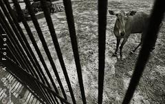 Careless Dhaka Zoo (Saud A Faisal) Tags: travel nature animal canon zoo wildlife historical ttl dhaka dslr bengal bangladesh digitalslr bangla captivity touristspot bengali bangladeshi careless mirpur anumal throughthelensbangladesh saudafaisal