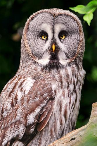 フリー画像| 動物写真| 鳥類| 猛禽類| 梟/フクロウ| カラフトフクロウ|      フリー素材|