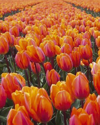 Oranje_roze_tulpen