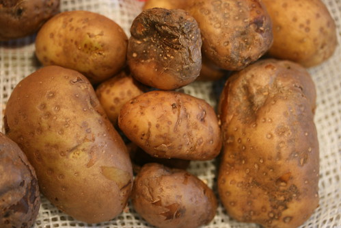 blighted botatoes