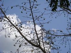 Ceiba (CameliaTWU) Tags: trees plant tree fruit maya herbs belize seed medicinal altunha nativeplants kapok ceibapentandra ceiba sacredtree outdoorplants bombacaceae mayancotton