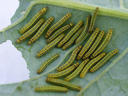 grossest ive food caterpillar broccoli