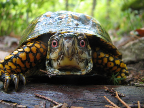 Box turtle by Floracliff.