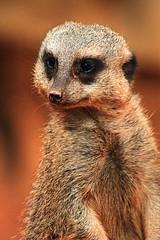 Meerkat (bill.d) Tags: chicago zoo us illinois meerkat unitedstatesofamerica 2009 lincolnparkzoo lincolnpark xti intellisharpen perceptool