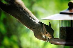 The Stretch (ICK9S [M. H. Stephens]) Tags: closeup squirrel stretch rhodent greysquirrel
