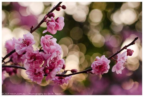 Bokeh & Blossom Nokton 58mm