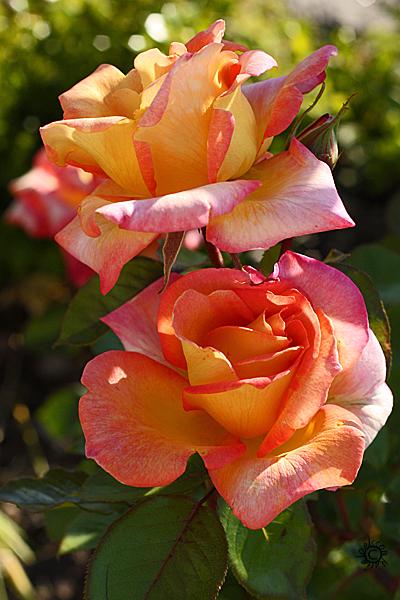 blompar2