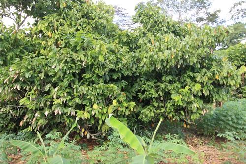 Cocoa trees...