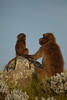 20090901-IMG_1653 (Robin100) Tags: africa animal mammal baboon ethiopia primate baboons gelada geladababoon guassa guassaplateau