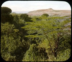 View of trees, hills, grass (The Field Museum Library) Tags: africa expedition kenya 1906 mammals 1905 lanternslide britisheastafrica carlakeley zoologyexpedition handcoloredglasslanternslide