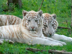 Tigres blancs (home77_Pascale) Tags: animal ngc tigre bb flin fauve specanimal parcdesflins tigreblanc nesles 100commentgroup vosplusbellesphotos saariysqualitypictures flickrbigcats me2youphotographylevel1