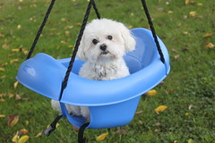 Charlie the Maltese in a Swing (NjCarGuy) Tags: dog pet baby leaves smiling puppy funny posing charles canine malta swing charlie doggy maltese castleford blueswing maltesepuppy