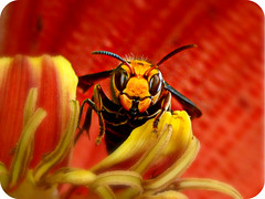 Hey You .... My Anger Is Getting Out Of Control ~ ! (Anuma S. Bhattarai) Tags: nepal red macro nature insect photography eyes october asia flickr shot cybershot banana bee stare kathmandu staring hindu cyber nepali bananaflower macroshots anuma bhattarai cybershotdsch50 anumabhattarai anumasphotography