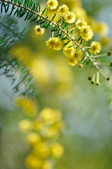 Acacia blooms in Autumn (myu-myu) Tags: flower tree nature yellow japan nikon nikkor mygarden soe acacia  naturesfinest fantasticflower acaciaconferta mywinners  nikkor105mmf28gvrmicro theperfectphotographe d300s