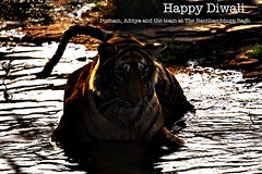 AS_000006227 (dickysingh) Tags: wild india animal outdoor tiger aditya diwali singh ranthambhore dicky rathambhore adityasingh ranthamborebagh theranthambhorebagh wwwranthambhorecom