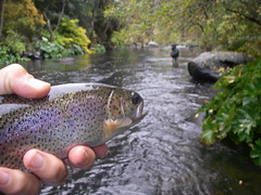 Rainbow Trout eyes Jason and Fall Colors