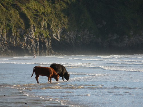11581 - Cows on Rhossili Beach