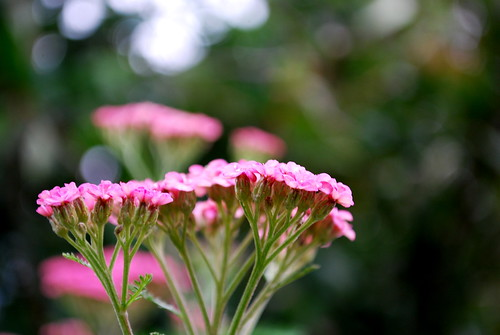 late yarrow blooms