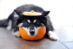 the grumpy pumpkin   (43/52) (sure2talk) Tags: halloween explore taivas 4352 finnishlapphund nikond60 clickertraining flickrduel impressedbeauty nikkor50mmf14gafs 52weeksfordogs trickortreatnoclickandtreat thegrumpypumpkin we311009 lightwriterscc