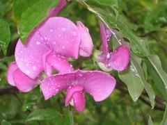 Purple Sweet Pea Flower (JollyOrange) Tags: flower nature flora sweetpea wildflower purpleflower lathyrusodoratus sweetpeaflower purplesweetpea