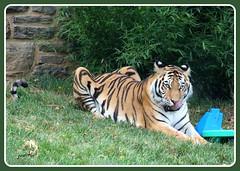 """Mmmmm! That keeper was excellent... (judecat ( back in flip flops)) Tags: cat zoo feline pennsylvania stripes tiger bigcat philadelphiazoo amurtiger"