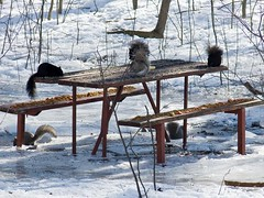 Sunday Picnic in the Park (Judi McFarlane) Tags: trees winter ontario cold tree nature rodent squirrel squirrels picnic wildlife lp picnictable naturelovers