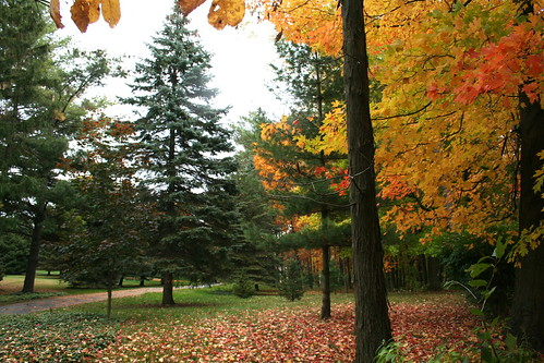 Autumn Pines and Maple Trees