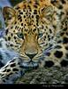 The Stare (photographerjoe) Tags: cats leopard dapa dapagroup dapagroupmeritaward dapagroupmeritaward3 dapagroupmeritaward2