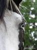 Blue Eyes (kafphotography) Tags: bw horse usa florida blueeyes equine bigmomma gamewinner thechallengegame challengegamewinner pfogold pfosilver herowinner