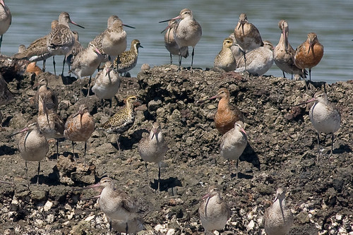 Godwits and golden plovers