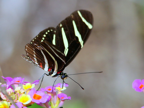 Zebra Heliconian 20090321