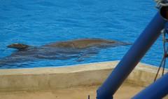 Captive vs. Wild:      Mediterraneo Marine Park --- Malta (CaptiveDolphins-vs-WildDolphins) Tags: malta dolphins shame delphinarium malte mediteraneo maltagozo marinelands mediterraneomarinepark captivedolphins themediteranneomarineparkinmaltaisashame unehonte unaverguenza dauphinscaptifs themediteranneomarineparkinsliemathemediteranneomarineparkinmalta themediteranneomarinepark dauphinsdelfines delfinescautivos
