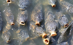 food lake fish water swimming swim feeding eating eat carp feed