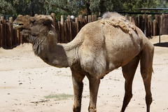 Camel at Wildlife World Zoo & Aquarium