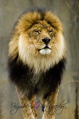 lion (kymberlybphotography) Tags: louisvillezoo
