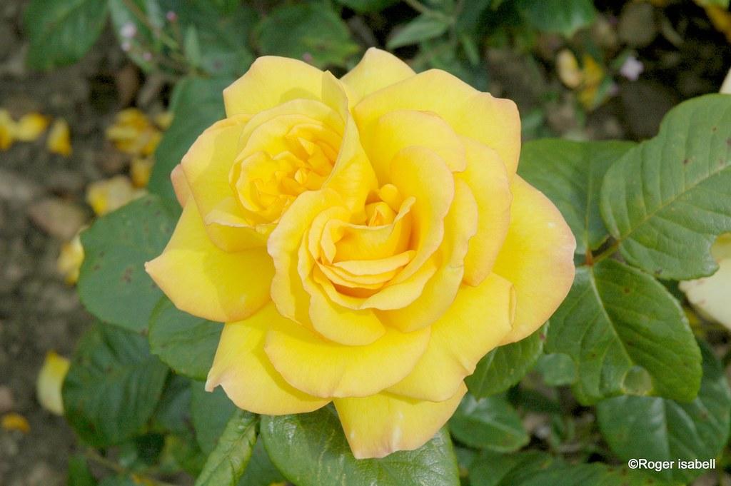 Yellow Double Rose of Scotland
