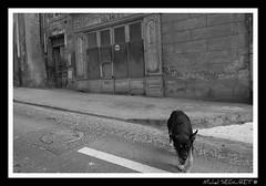Un chien, une ville (Michel Seguret (Thanks for + 5.000.000 views)) Tags: street city fab blackandwhite bw dog chien france fun town blackwhite calle nikon flickr noiretblanc postcard ciudad nb hund stadt pro sw sensational fabulous rue atm languedoc beziers ville citta pero mbp languedocroussillon smrgsbord pho