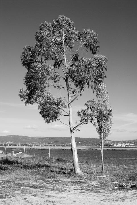 Árvore Solitária com o Rio Lima em fundo