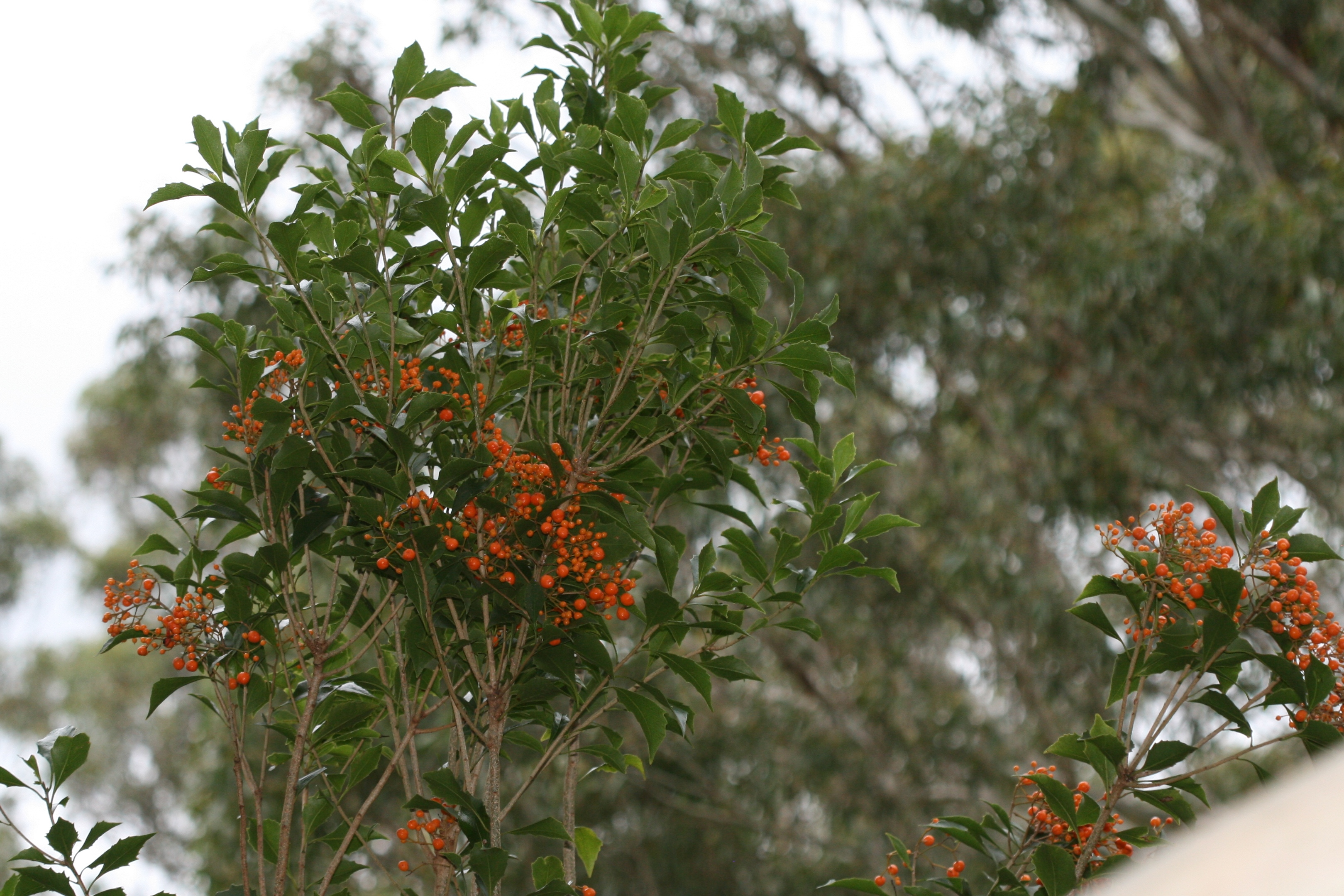 Image of Pittosporum rhombifolium