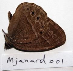 Heteropsis janardana