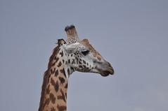 DSC_0220.jpg (kpopat) Tags: kenya nairobi giraffe d90 masaigiraffe nairobinationalpark sheldrick davidsheldrick daphnesheldrick