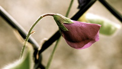 (kelsey6) Tags: flower sweetpea