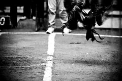 COCKFIGHT (119) (Peter_O'Driscoll) Tags: gambling game spur fight fighter attack culture cockpit clash peter coliseum rooster tradition breed combat gamble betting bet cultural gladiator manok gamecock gambler gallera sabong wager bloodsport cockfighting odriscoll stamina warrier panay gamefowl hahnenkampf cityoflove iloilocity combatdecoqs rinhadegalo bulang  colseum sagupaan g combattimentodigalli bulangan pasampok   riadegallos   sabonero manoktukaan peterodriscoll