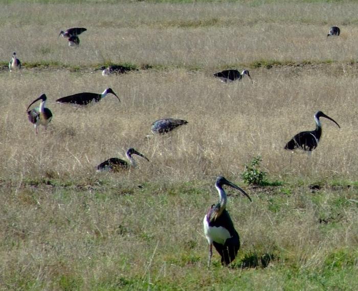 straw-necked Ibis 02
